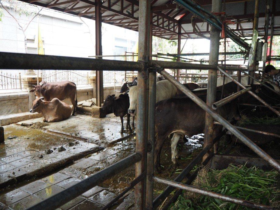que ver en bangkok Wat Hua Lam Phong vacas